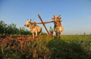 Cow&Farmland